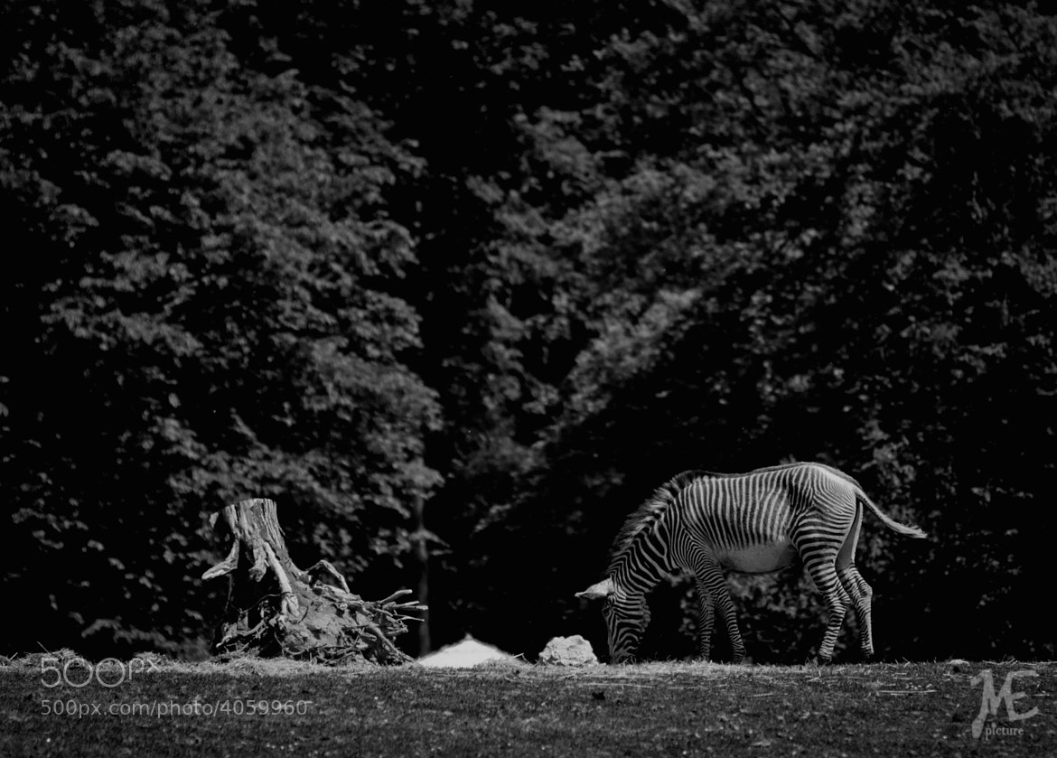 Photograph Zebra by Matthias Eberl on 500px