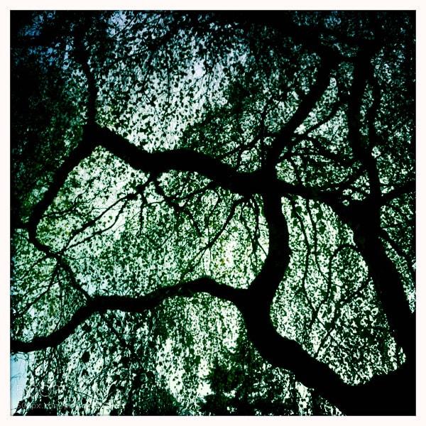 iPhone Hipstamatic image capturing this Washington Park Arboretum Willow Tree.