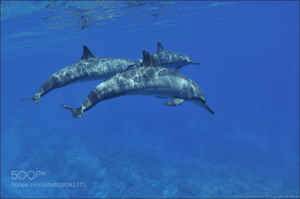 Photograph Spinner dolphin, Niue Island by Colin Gans on 500px