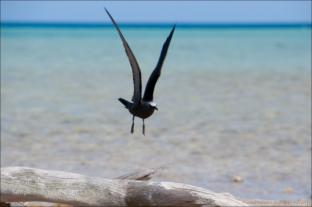 Photograph Tern above driftwood, Fakarava Atoll, French Polynesia by Colin Gans on 500px