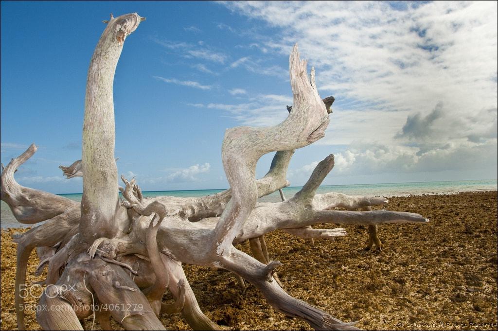 Photograph Driftwood tree on stony coral beach, Fakarava Atoll, French Polynesia by Colin Gans on 500px