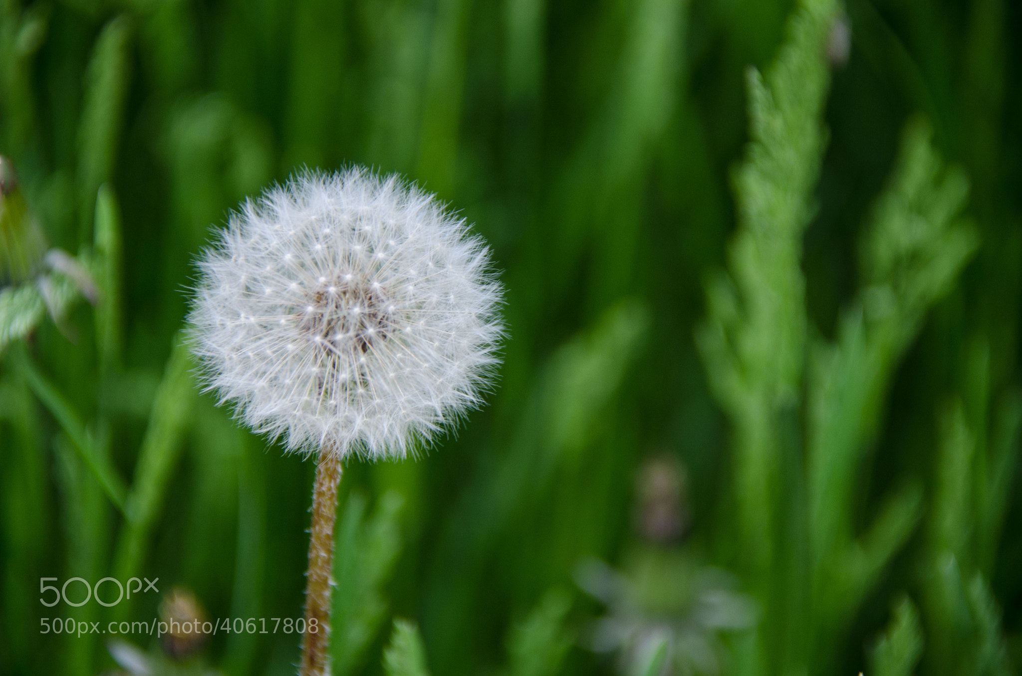 Photograph dandelion by Aleksandra Kulikova on 500px