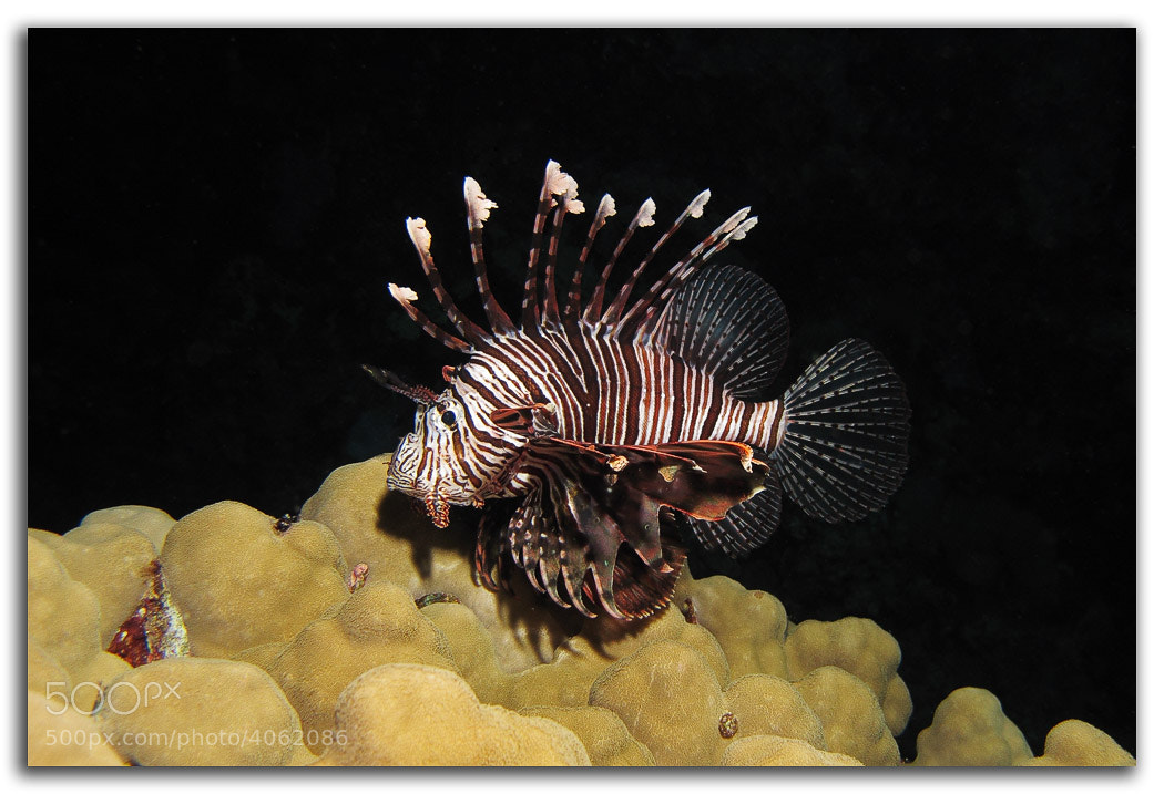 Photograph Common Lionfish by David Whistlecraft on 500px