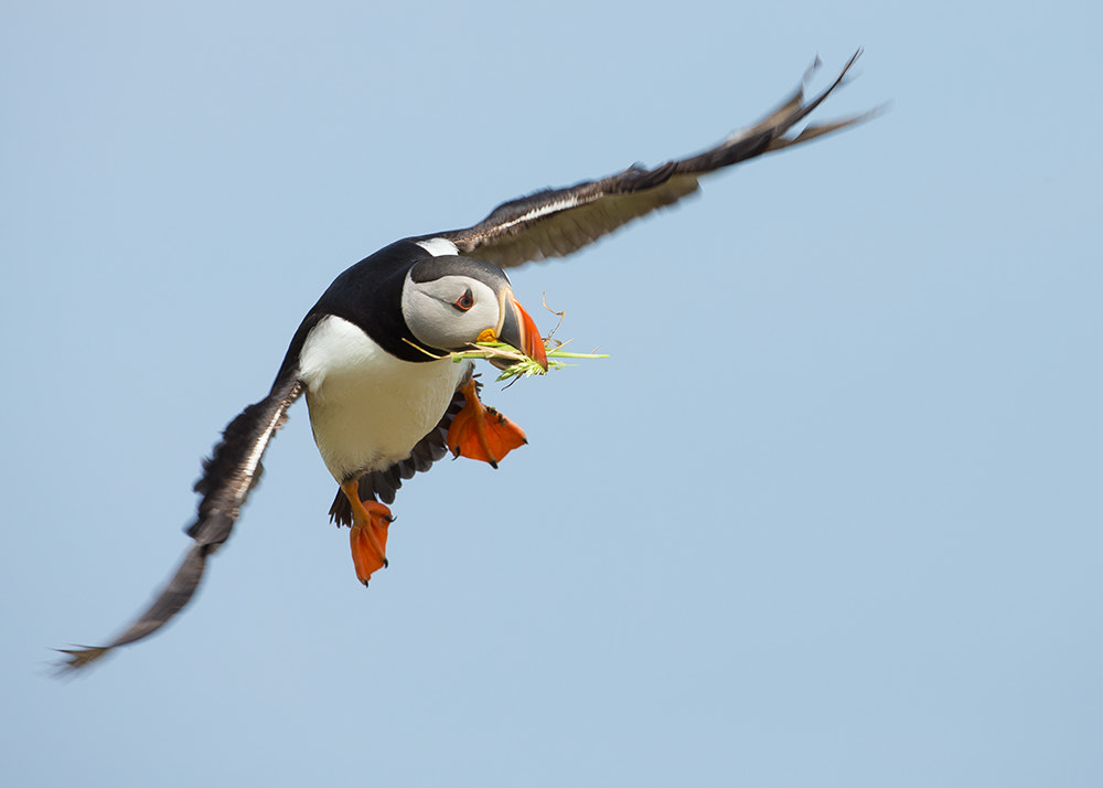 Photograph Puffin in Flight by Giedrius Stakauskas on 500px