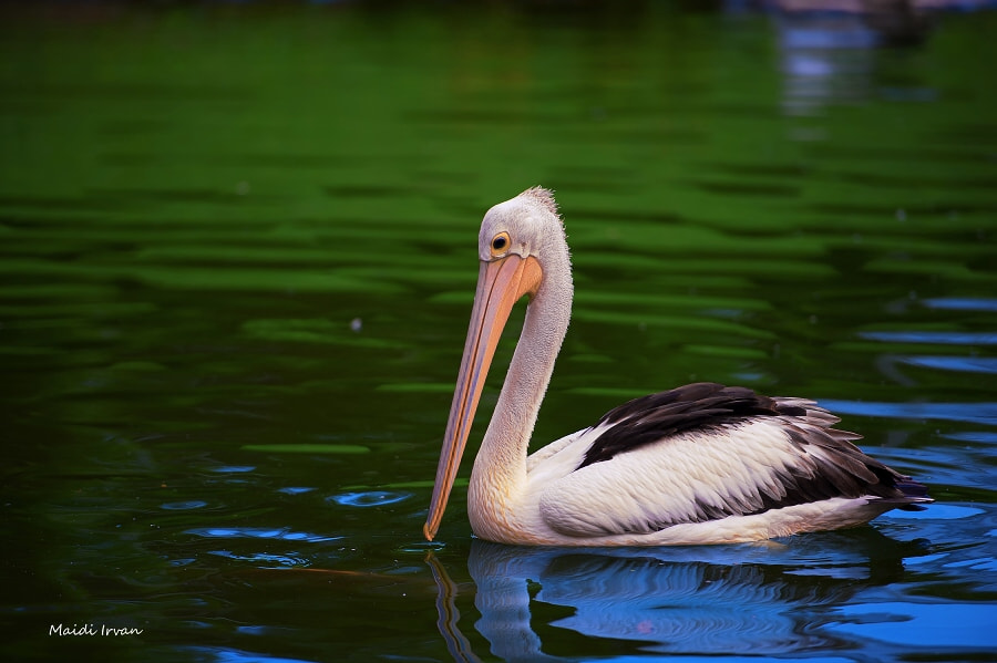 Photograph Pelican by Maidi Irvan on 500px