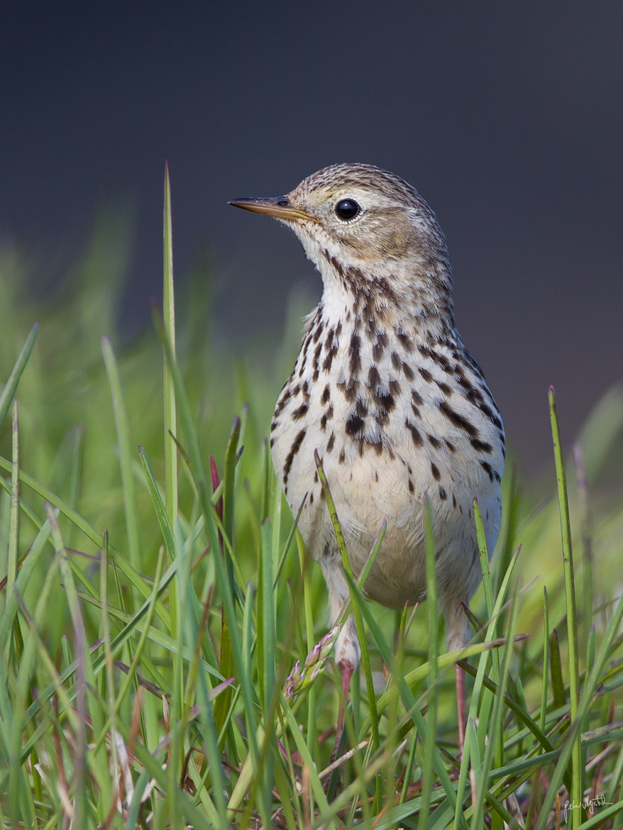Photograph Meadow Pipit by Peter Negatsch on 500px
