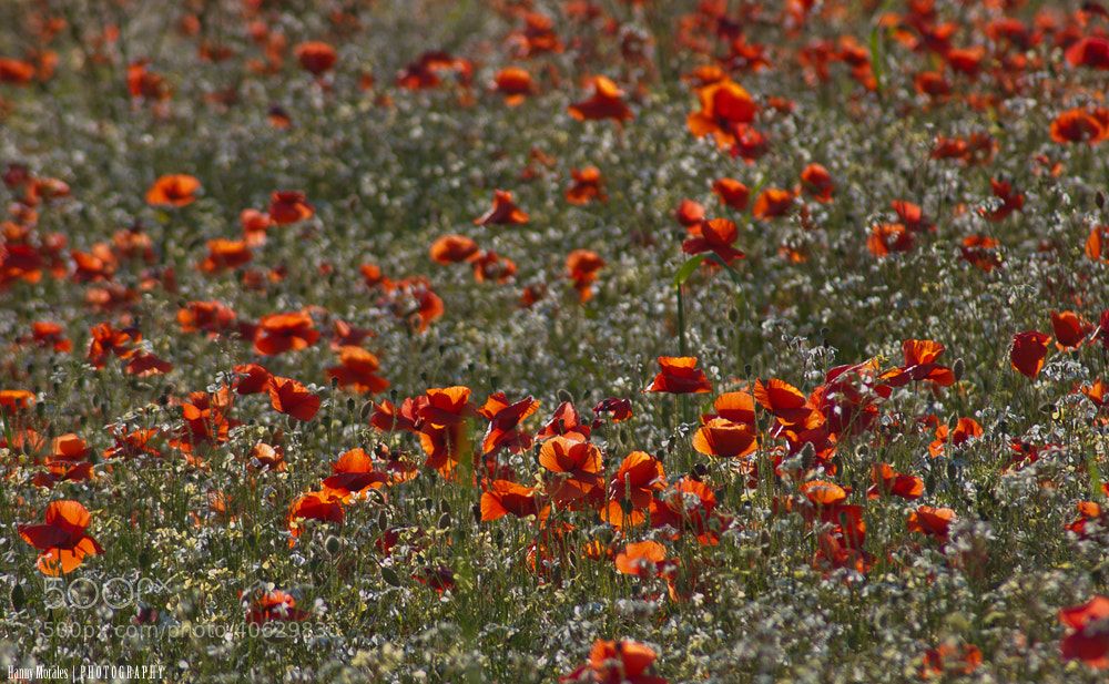 Photograph Poppy field II by Hannelore  on 500px