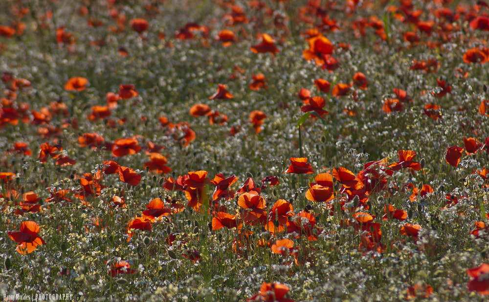 Photograph Poppy field II by h_foxh  on 500px
