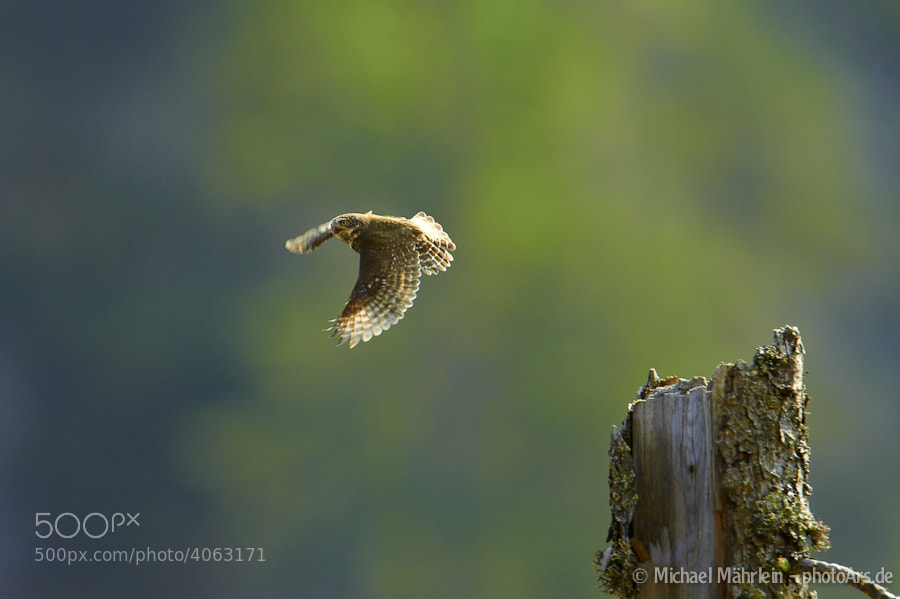 Photograph Pygmy owl (Glaucidium passerinum) by Michael Mährlein on 500px