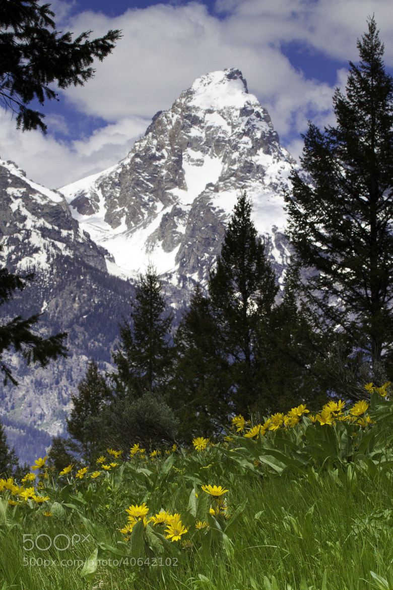 Photograph Grand Teton with Balsamroot by A.M. Ruttle on 500px