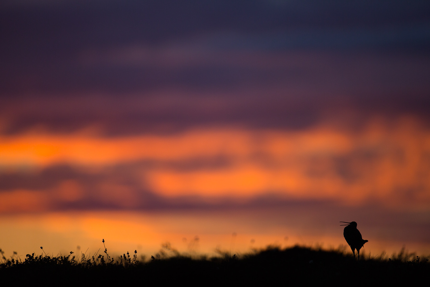 Photograph Great Snipe displaying in twilight by Daniel Pettersson on 500px