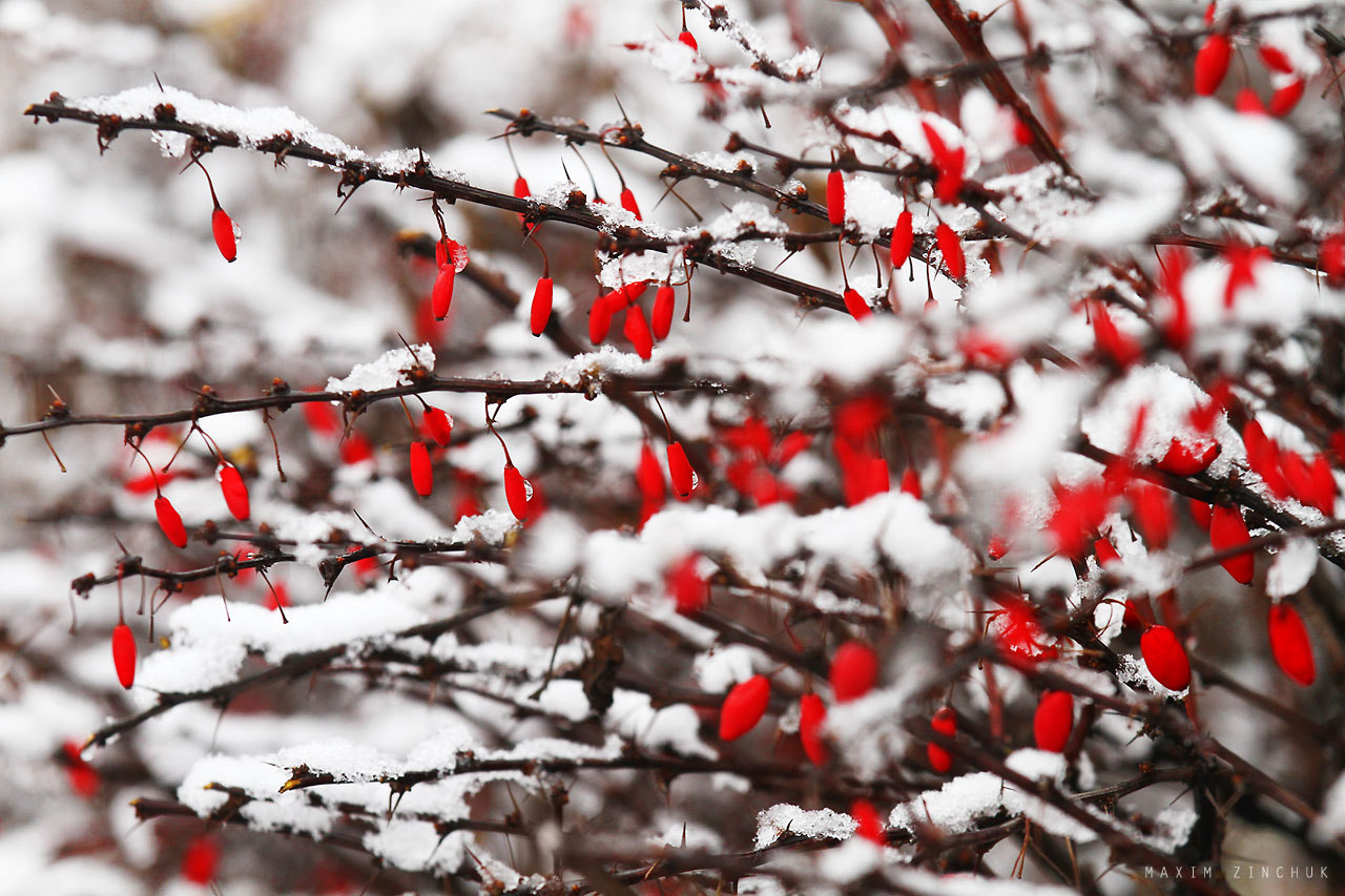 Photograph Red berries and snow by Maxim Zinchuk on 500px