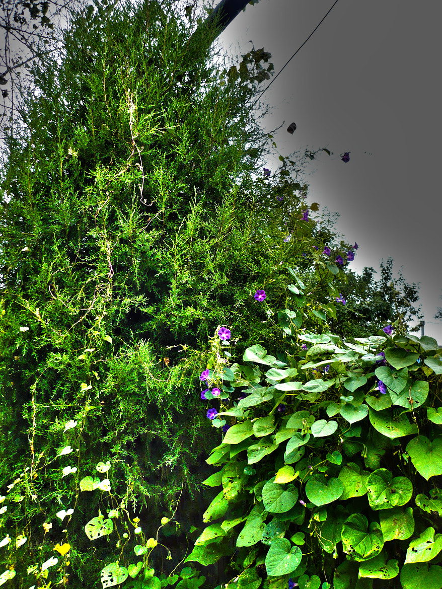 Photograph Morning Glories And Cedar #2 by Benjamin Burch on 500px
