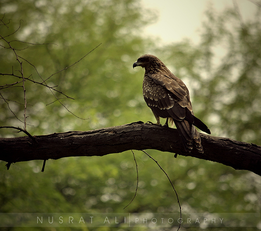 Photograph Lonely Eagle... by Nusrat Ali on 500px