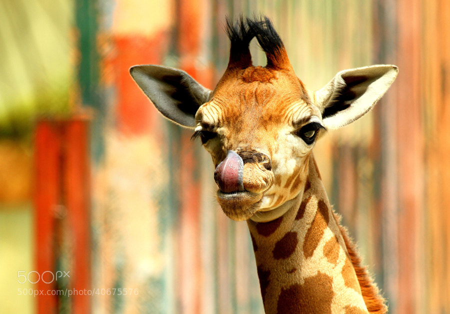 Photograph 2 weeks old baby giraffe by Rainer Leiss on 500px