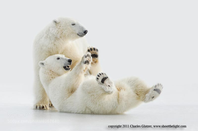 Photograph Polar bears playing on ice by Charles Glatzer on 500px