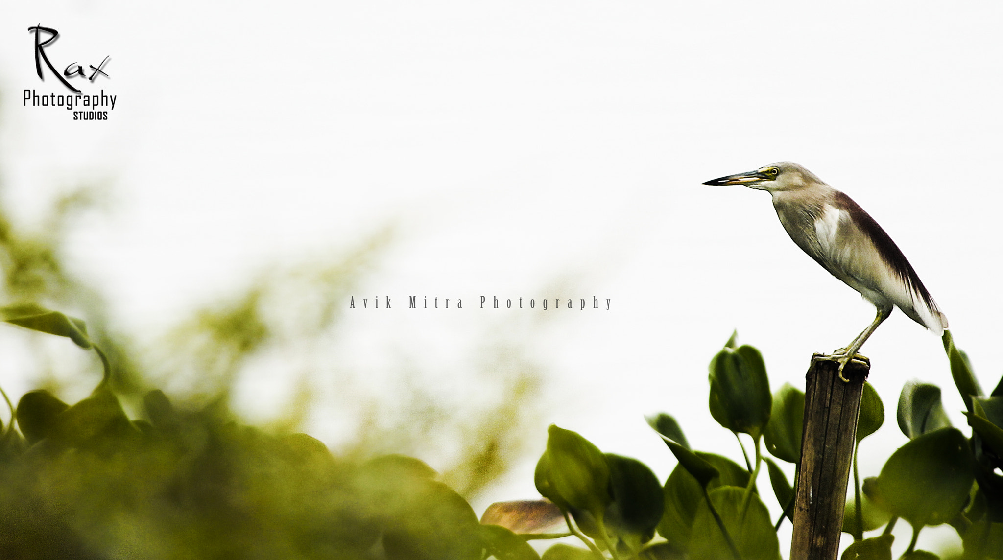 Photograph Bird by Avik Mitra on 500px