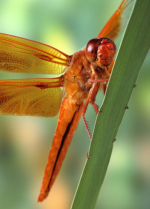 Photograph Flame Skimmer Dragonfly by Bob Jensen on 500px