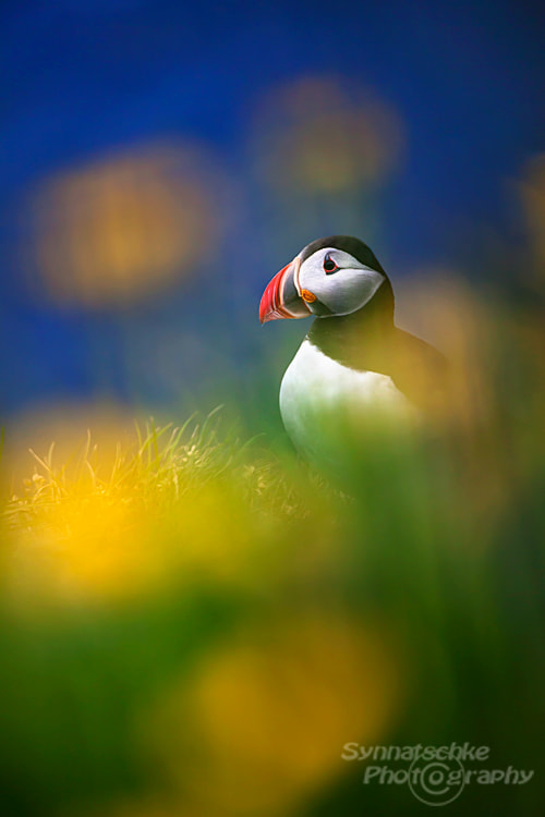 Photograph Puffin (Lundi) in Iceland by Isabel Synnatschke on 500px