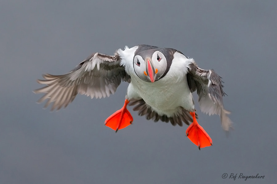 Photograph Puffin in flight by Raf Raeymaekers on 500px