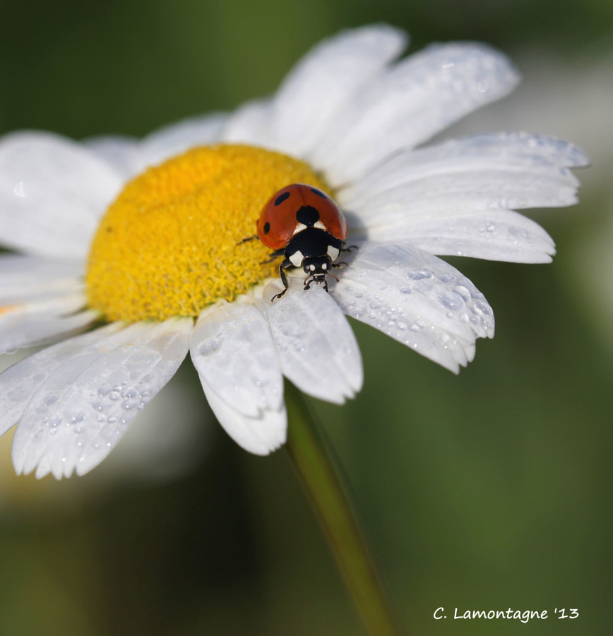 Seven Spotted Ladybug on a Daisy in my yard.
