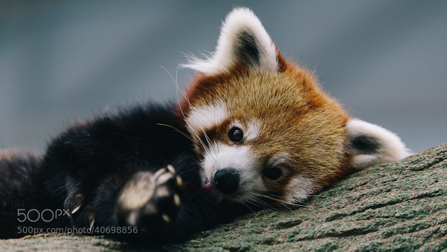 Photograph red panda by Leon Wei on 500px