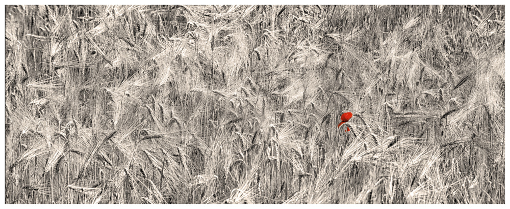Photograph Buried in a field of wheat by Paolo Costantino on 500px