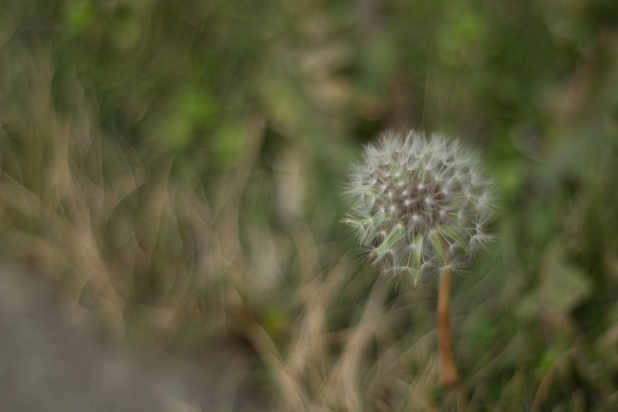 Photograph 蒲公英(Dandelion) by Liao Wujia on 500px