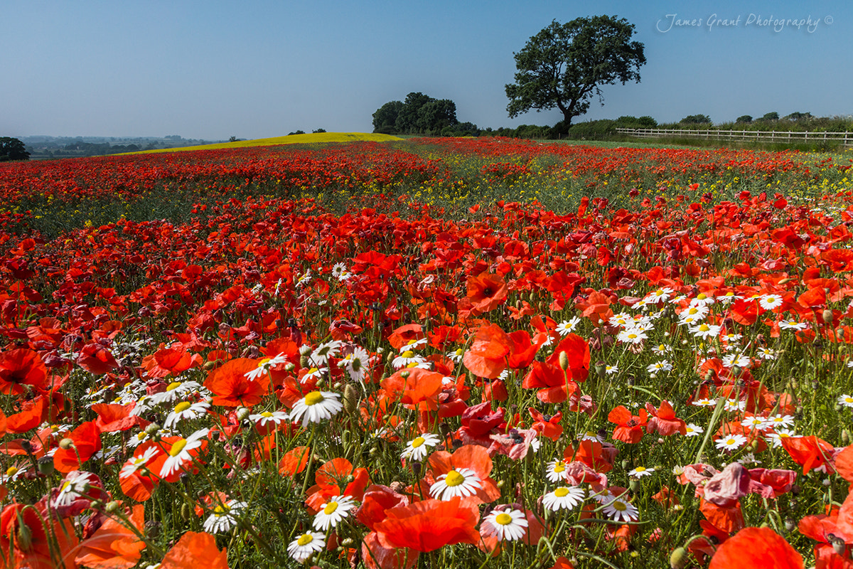 Photograph A66 Poppies by James Grant on 500px