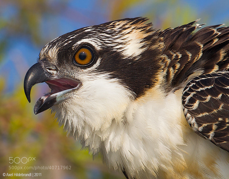 Photograph Juvenile Osprey by Axel Hildebrandt on 500px