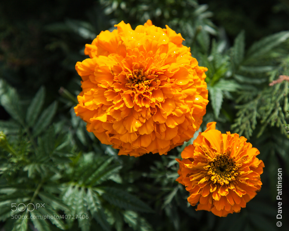 Photograph Marigold by Dave Pattinson on 500px