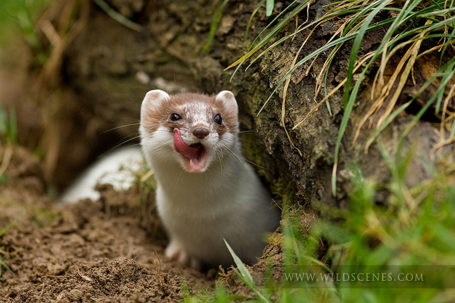 Photograph Stoat in ermine by John Gardner on 500px