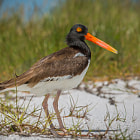 This american oystercatcher was up moving around off her nest and happened to glance over her shoulder at me.  I love the colors of that beak!http://www.allaboutbirds.org/guide/American_Oystercatcher/id