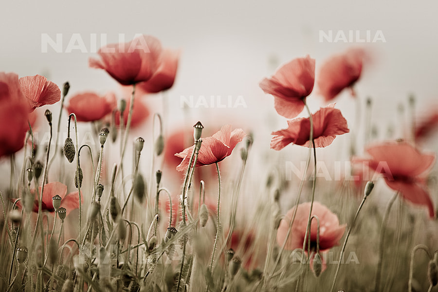Poppy by Nailia Schwarz on 500px.com