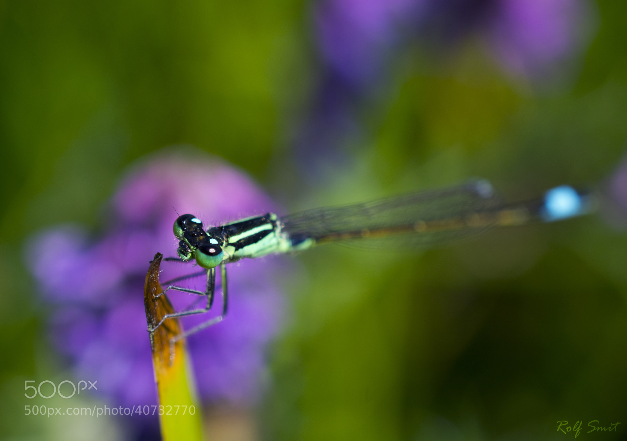 Photograph The lonely damselfly by R Smit on 500px