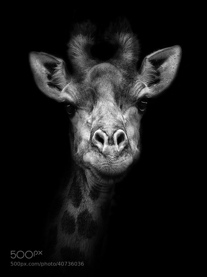 Photograph The Giraffe by John Dickens on 500px