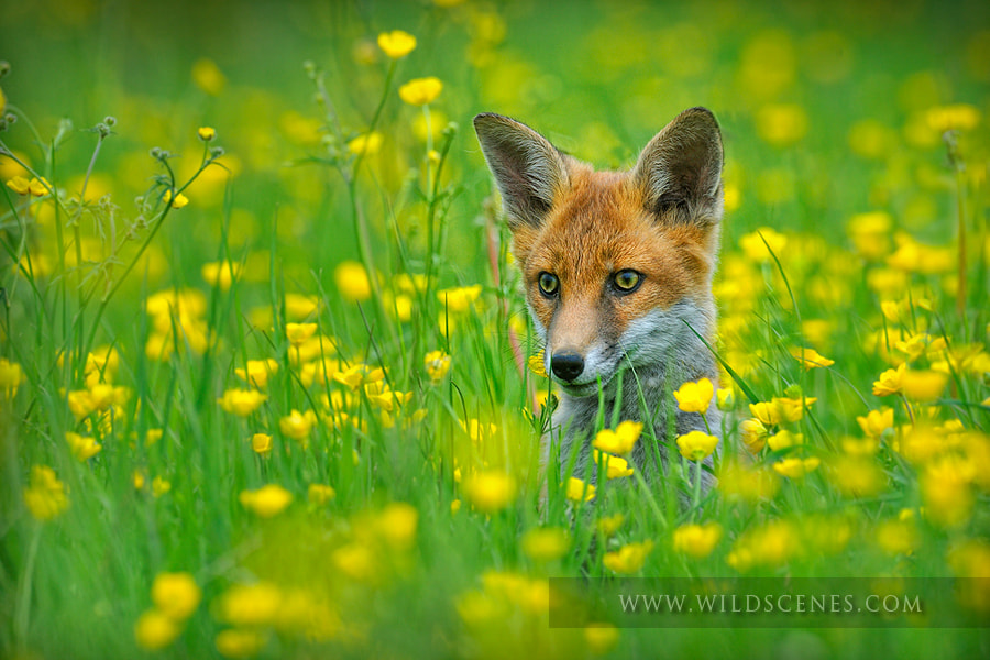 Photograph Fox cub in buttercups by John Gardner on 500px