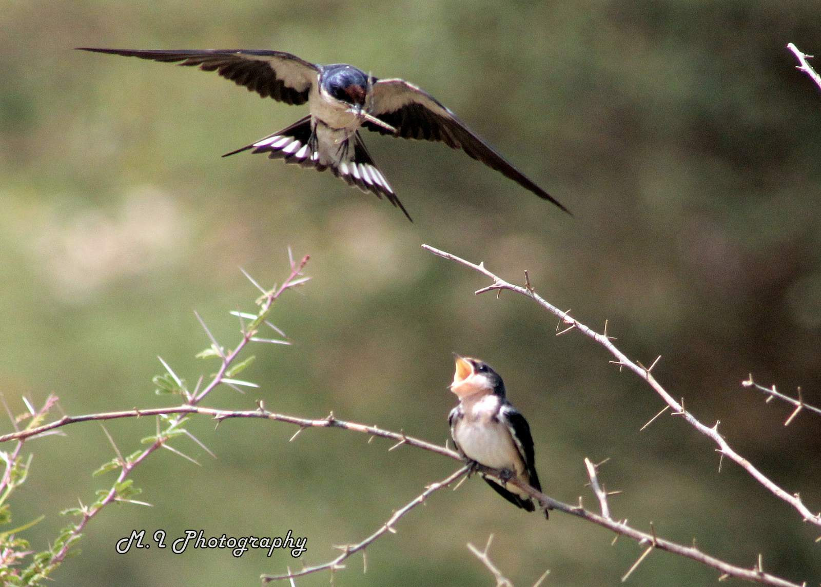 Photograph Ethiopian swallow by Mohamed Ismael on 500px