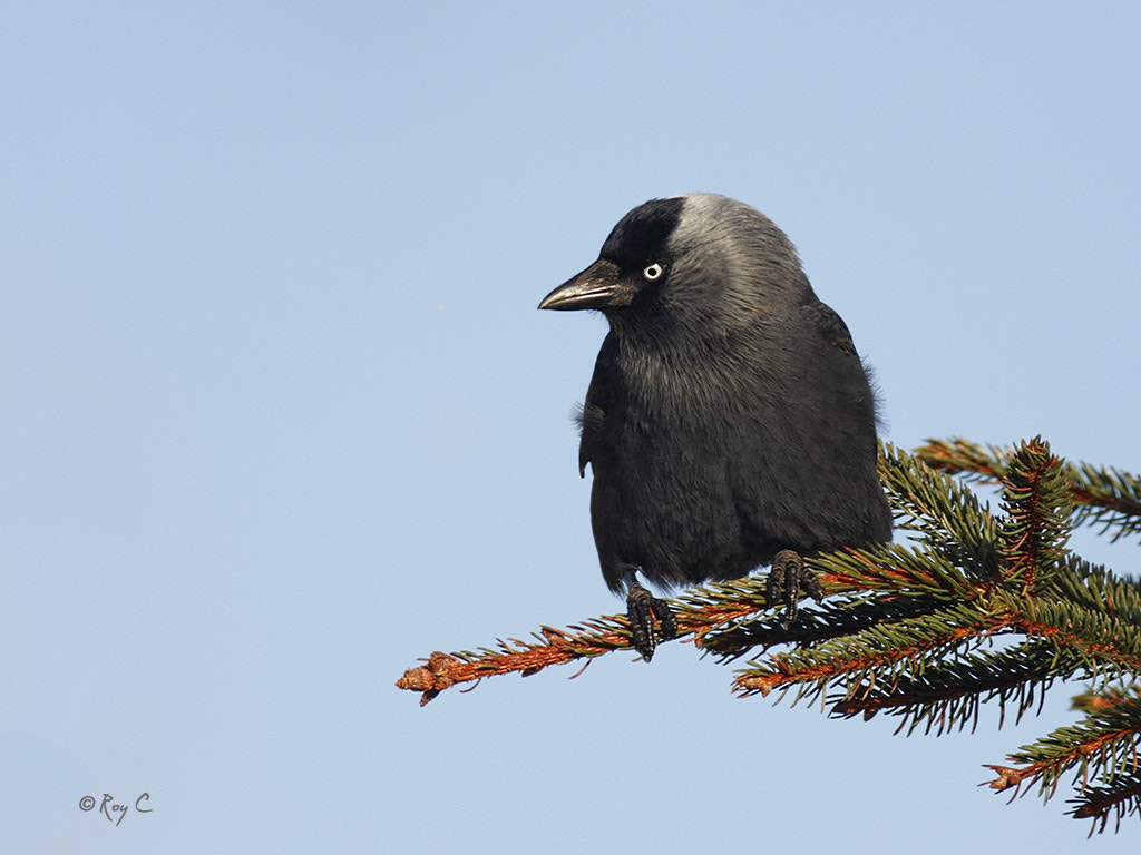 Photograph Jackdaw by Roy Churchill on 500px