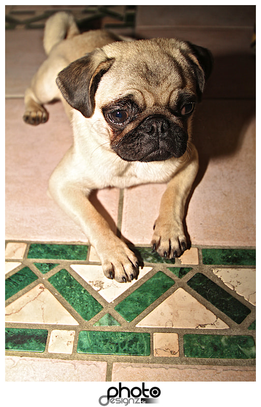 Photograph Mops Frank by photodesignz B.Priess on 500px