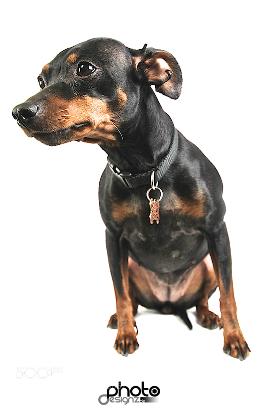 Photograph Zwerpinscher Dame Chocolate by photodesignz B.Priess on 500px
