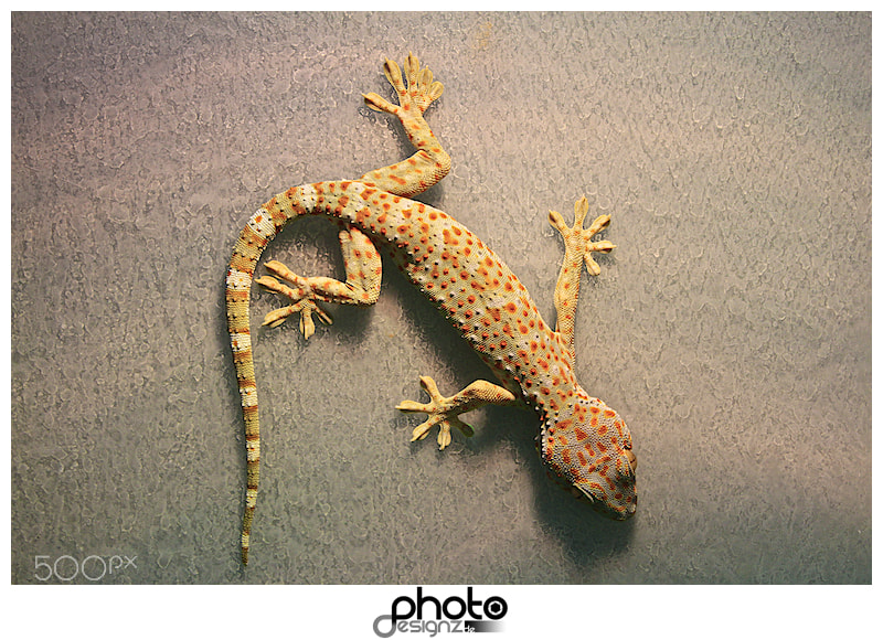 Photograph Geko by photodesignz B.Priess on 500px