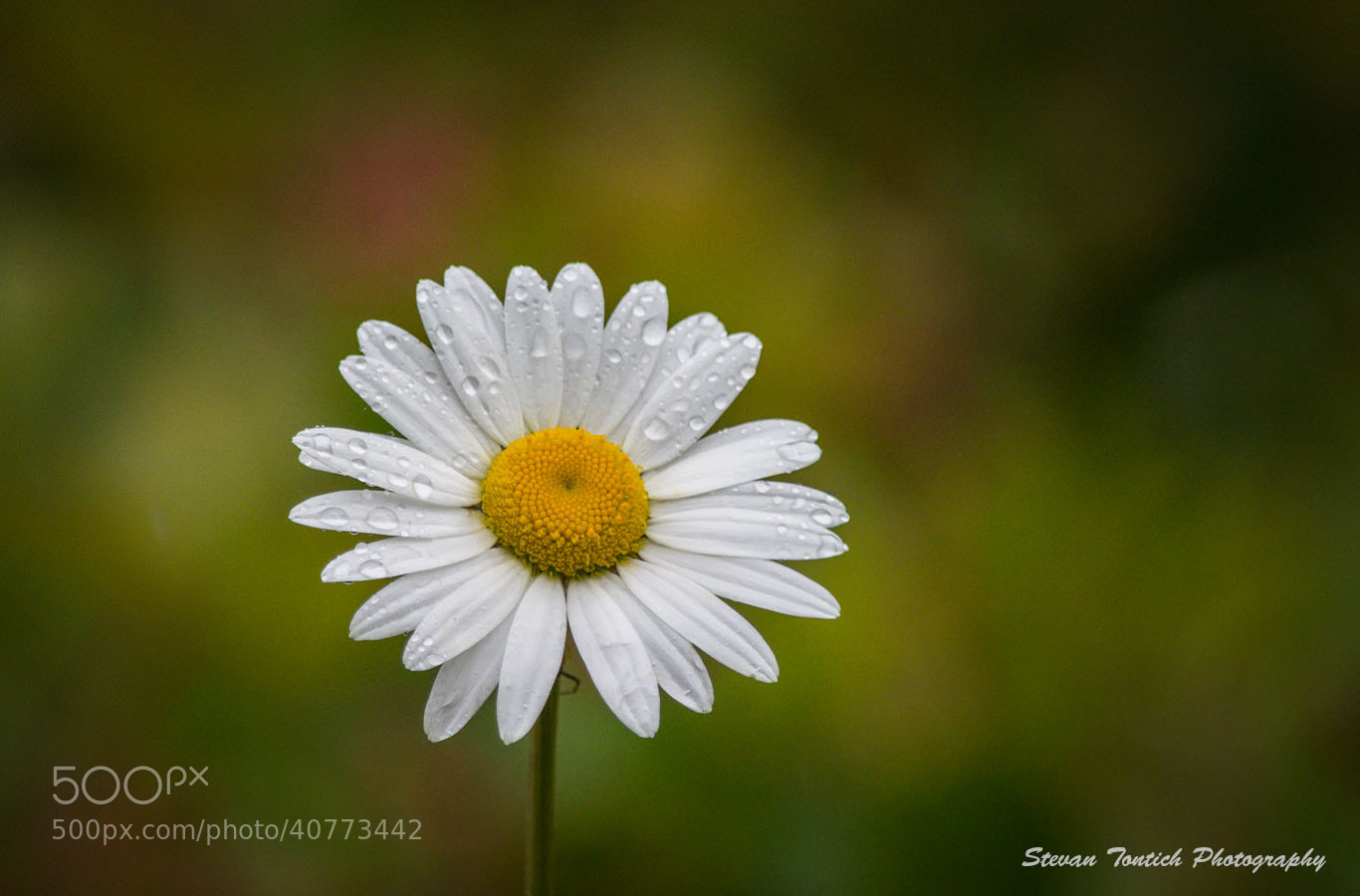 Photograph Daisy by Stevan Tontich on 500px