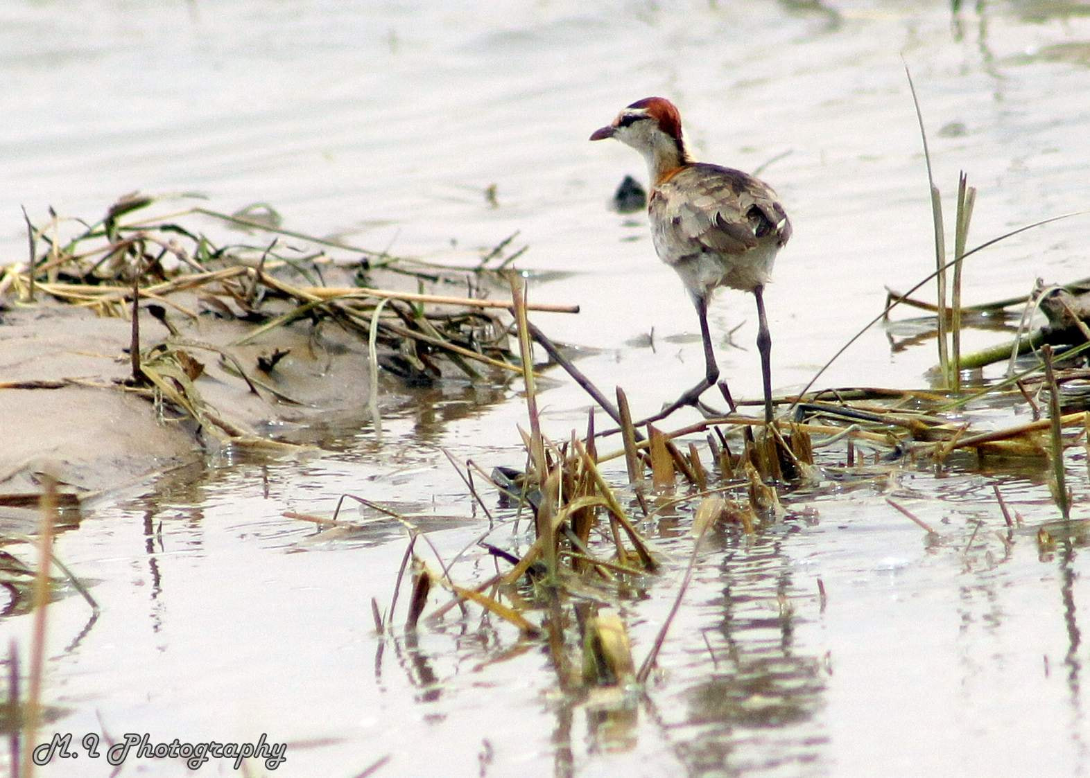 Photograph African Jacana baby by Mohamed Ismael on 500px