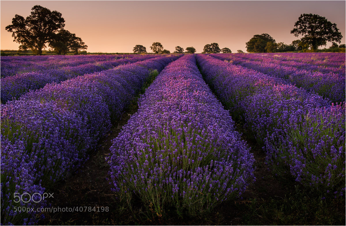 Photograph Lavender Dawn by Chris Beard on 500px