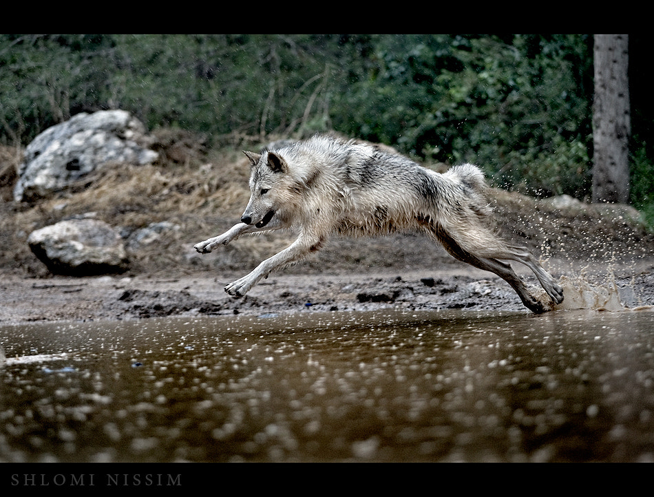 Photograph wolf^ by shlomi nissim on 500px