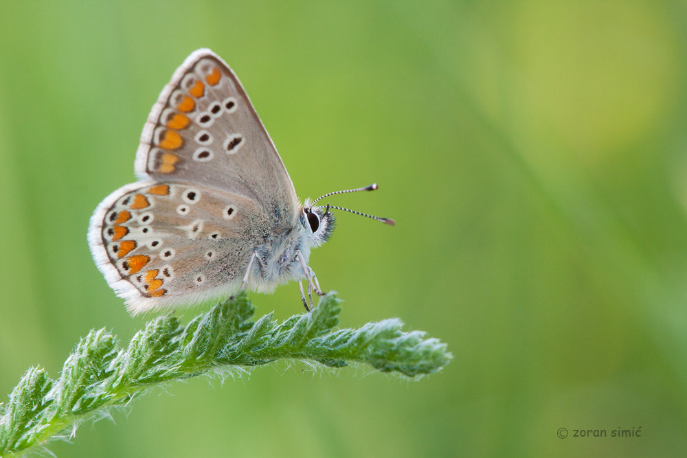 Photograph Aricia agestis (Brown Argus) #2 by zoran simic on 500px