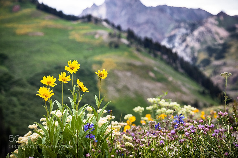 Photograph Alta Wildflowers by Paul Bartell on 500px