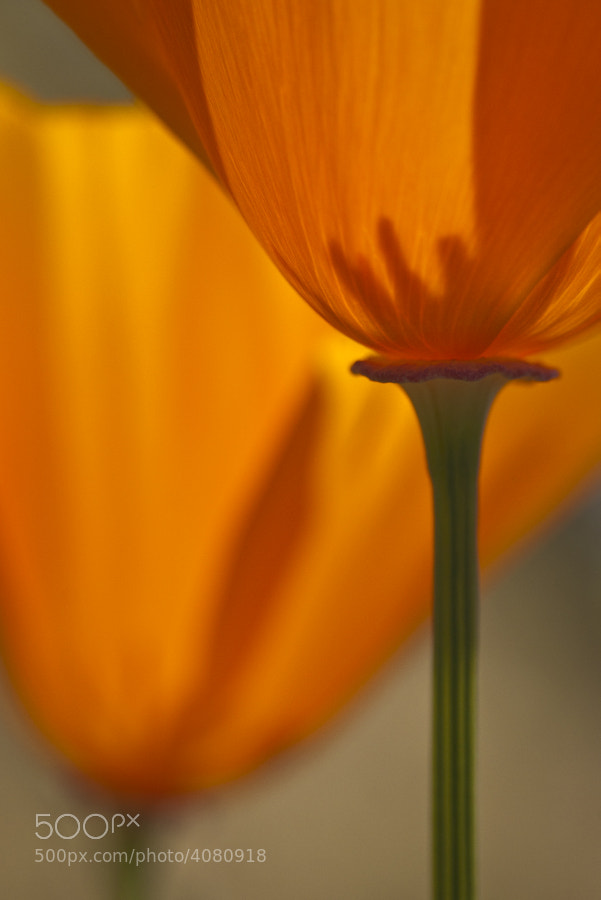 The California state flower that blooms in the Spring