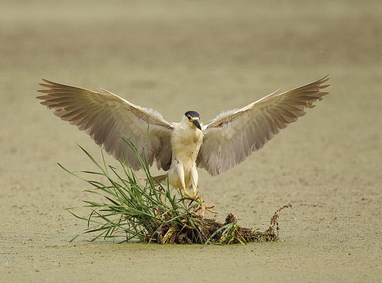Photograph black-crowned night-heron by peter  makuch on 500px